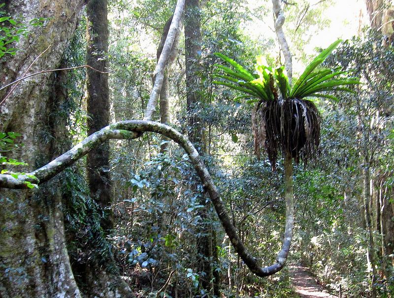 オーストラリアのゴンドワナ雨林の画像1