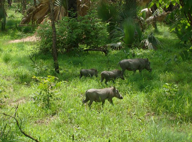 ニョコロ=コバ国立公園の画像18